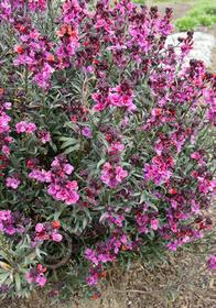 Erysimum linifolium 'Julian Orchard'