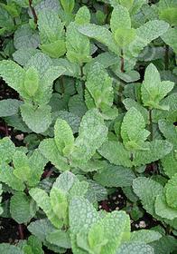 Mentha spicata 'Spanish'