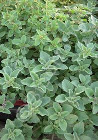 Origanum vulgare 'Dark Leaf'