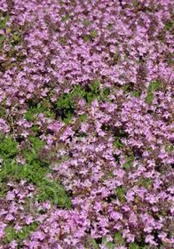 Thymus doerfleri 'Bressingham'