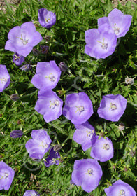 Campanula carpatica 'Deep Blue Clips'