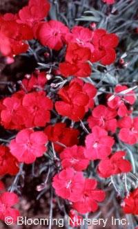 Dianthus alpinus 'Little Joe'