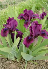 Iris pumila 'Claret'