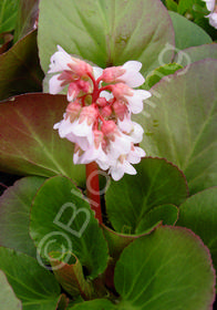 Bergenia hybrida 'Baby Doll'