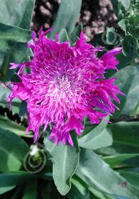 Stokesia laevis 'Honeysong Purple'