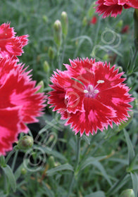 Dianthus 'Stawberry Sorbet'