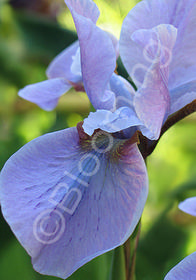 Iris sibirica 'Aqua Whispers'