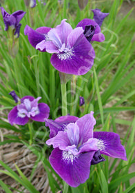 Iris sibirica 'Lady Vanessa'