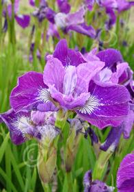 Iris sibirica 'Windwood Serenade'