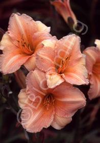 Hemerocallis 'Peach Fairy'