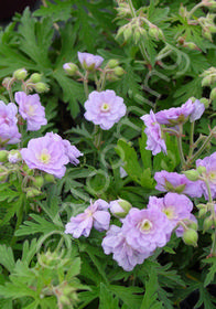 Geranium pratense 'Summer Skies'