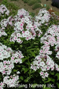 Phlox paniculata 'Nora  Leigh''