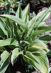 Hosta montana 'Aureo-marginata'