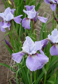 Iris sibirica 'Lilting Laura'