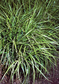 Carex muskingumensis 'Ice Fountains'