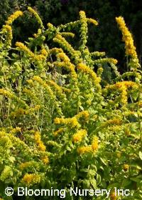Solidago sphacelata 'Golden Fleece'