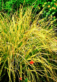 Carex elata 'Bowle's Golden'