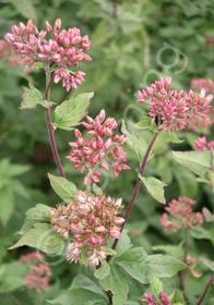 Eupatorium cannabinum 'Flore Plenum'