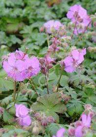 Geranium x cantabrigiense 'Karmina'