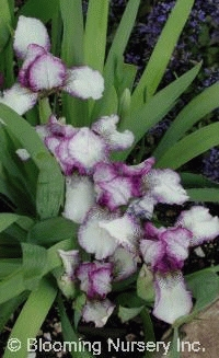 Iris pumila 'Peppermint Twist'