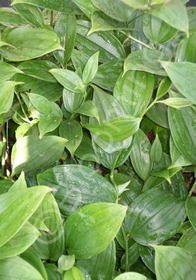 Disporum cantoniense 'Green Giant'