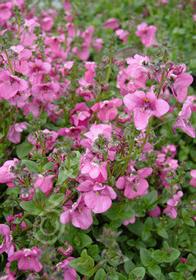 Diascia 'Langthorn's Lavender'