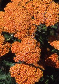 Achillea millefolium 'Fireland'