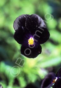 Viola cornuta 'Bowle's Black'