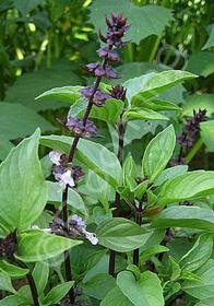Ocimum basilicum 'Thai'