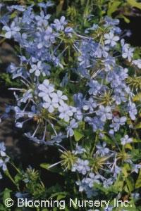 Plumbago capensis
