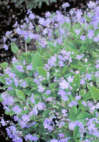 Omphalodes cappadocica 'Lilac Mist'