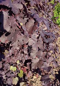 Vitis vinifera 'Purpurea Nana'