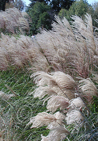 Miscanthus sinensis 'Grosse Fontaine' ('Big Fountain')