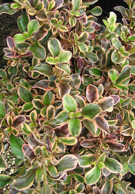Coprosma repens 'Evening Glow'