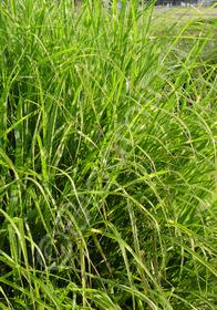 Miscanthus sinensis 'Puenktchen'