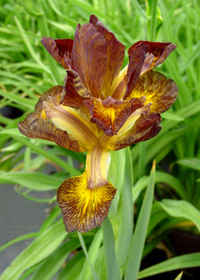Iris x spuria 'Lavender'