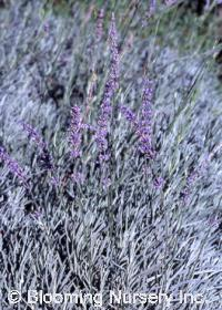 Lavandula x intermedia 'Twickle'