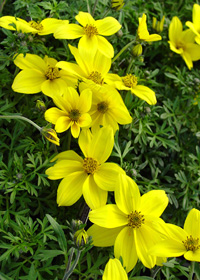 Bidens ferulifolia 'Namid Compact Yellow'