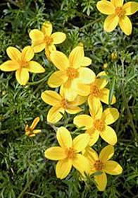 Bidens ferulifolia Namid Compact Yellow