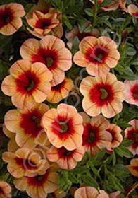 Calibrachoa MiniFamous 'Apricot Red Eye'