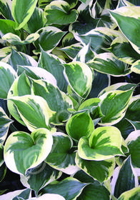 Hosta fortunei 'Twilight'