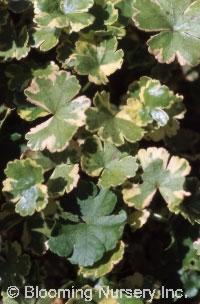 Hydrocotyl sieboldii