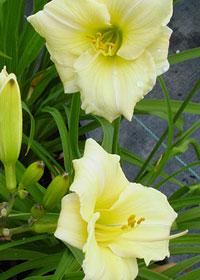 Hemerocallis 'Precious d'Oro'