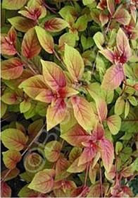 Fuchsia austromontana 'Autumnale'