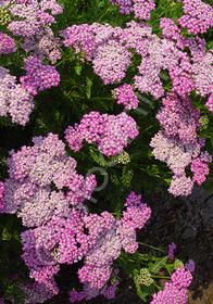Achillea millefolium 'Oertel's Rose'