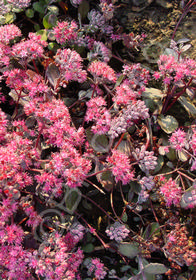 Sedum cauticola 'Bertram Anderson'