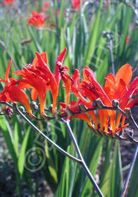 Crocosmia 'Woodside Select'