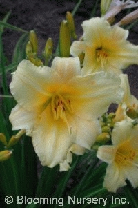 Hemerocallis 'Sherwood Lemon Drop'