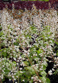 Heucherella 'Snow White'