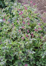 Geranium phaeum 'Samobar'